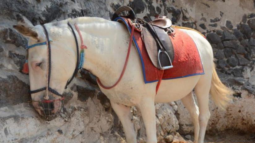 VIDEO: Así obligan a burros a transportar turistas obesos cuesta arriba en Grecia