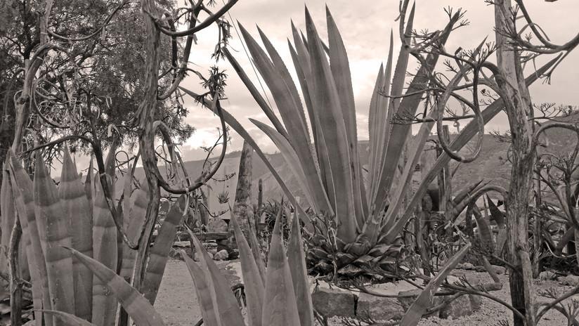 Chawarmisqui, la bebida de la eterna juventud y materia prima del miske ('el tequila ecuatoriano')