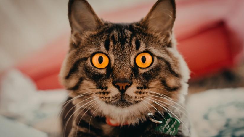 VIDEO: ¿Qué cara se le queda a tu gato cuando te 'enmascaras' con un filtro felino?