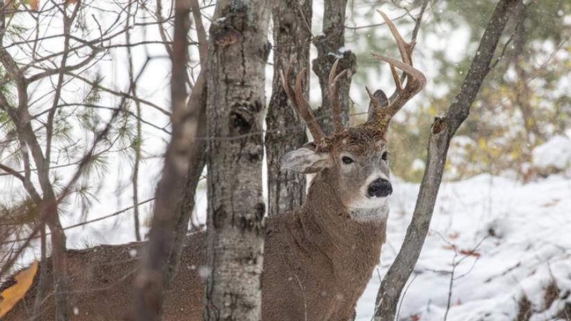 FOTOS: Descubren un ciervo de tres cuernos en EE.UU.