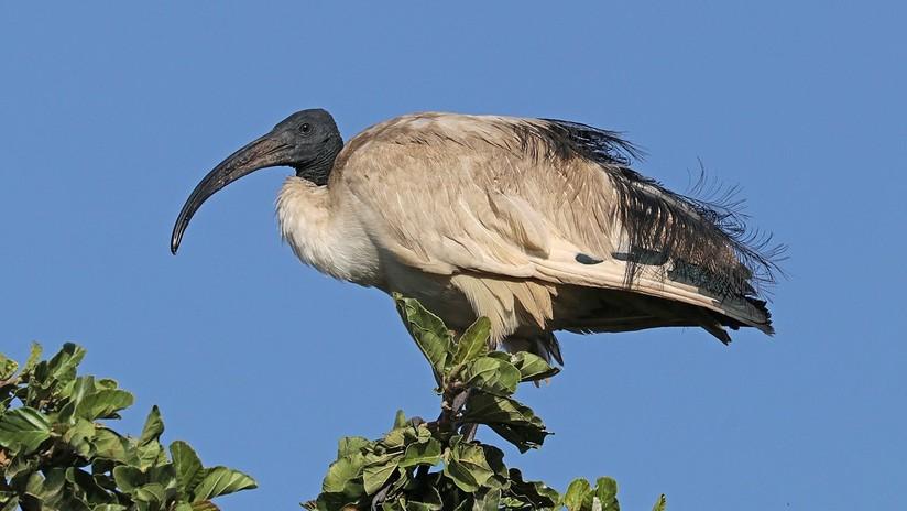 Descubren cómo los antiguos egipcios se hicieron con millones de aves sagradas para momificarlas