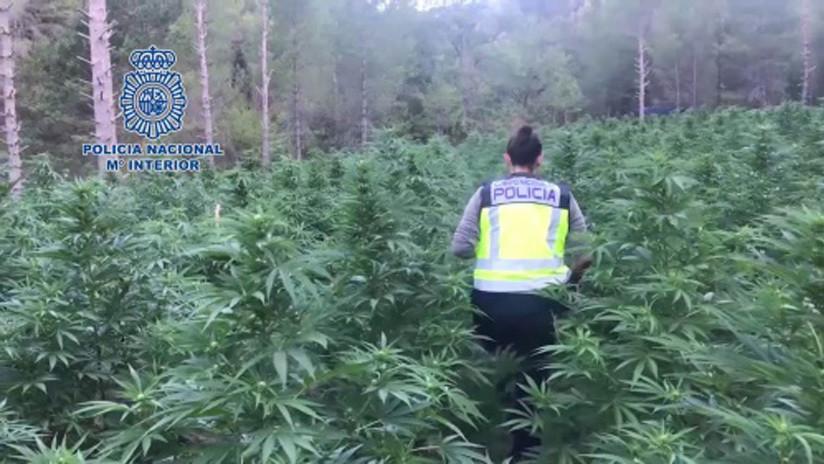 VIDEO: Incautan 16.000 plantas de marihuana en una plantación escondida en un bosque en España