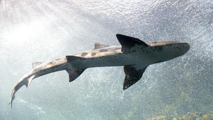 Descubren en EE.UU. un desconocido tiburón prehistórico que vivió hace 91 millones de años