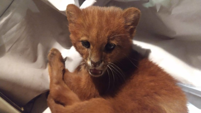 Una joven argentina rescata y cría a un felino como un gato, pero en realidad era un depredador salvaje