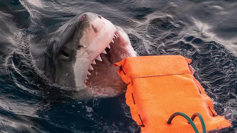 Desarrollan un material que ayuda a reducir las lesiones causadas por la mordeduras de los temibles tiburones blancos (VIDEO)