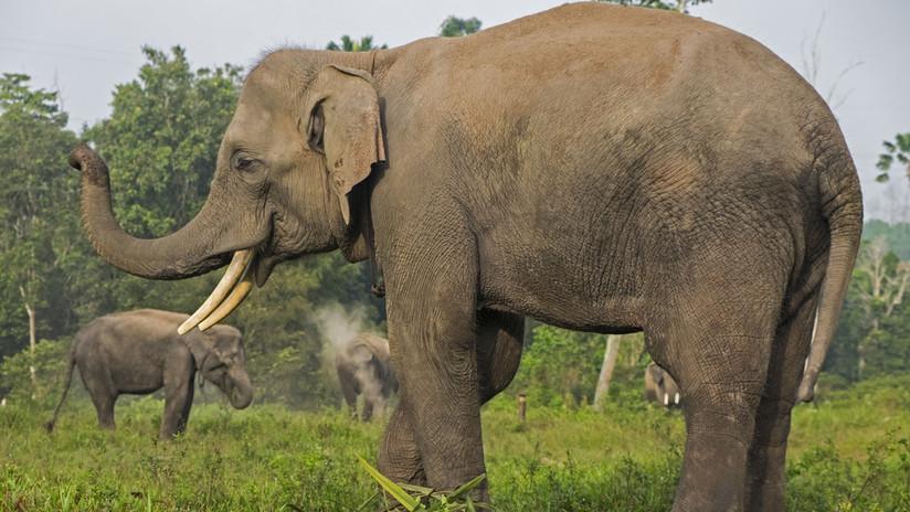 FOTO: Decapitado y con los colmillos cortados por cazadores furtivos hallan restos de un elefante 'en peligro crítico de extinción'