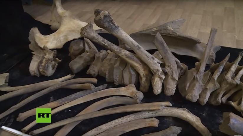 VIDEO: Hallan en Rusia los restos de un mamut de hace 21.000 años y el análisis criminológico muestra que fue matado por humanos