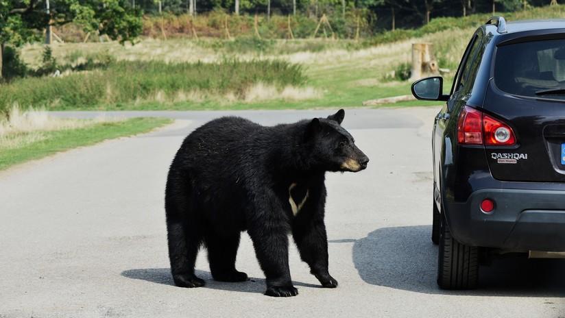 VIDEO: Un hombre descubre un oso en el asiento trasero de su auto y reacciona con sorprendente tranquilidad