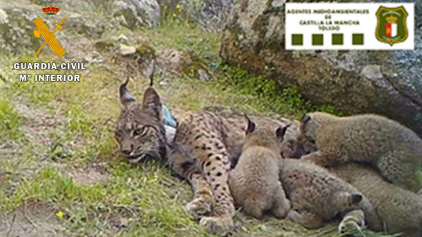 Mata una hembra de una de las especies de felinos más amenazadas del planeta y ahora le están investigando