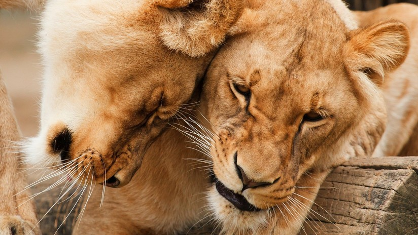 Envenenan y cortan mandíbulas y patas a 5 leones en Sudáfrica para usarlas en rituales de brujería
