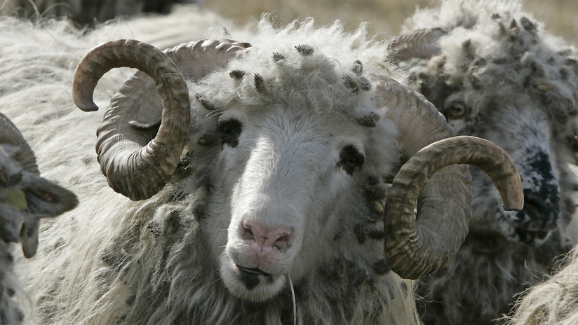 VIDEO: Vuelca un barco con miles de ovejas frente a las costas de Rumania
