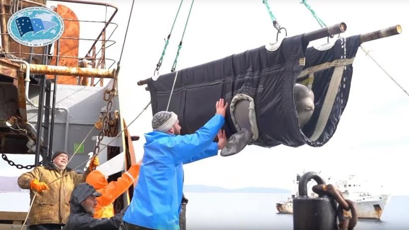 VIDEO: Así soltaron al mar a los últimos cetáceos de la 'cárcel de ballenas'