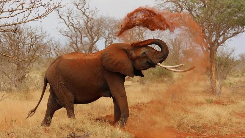 Piden más esfuerzos para detener la caza furtiva de elefantes africanos, que podrían extinguirse en 20 años