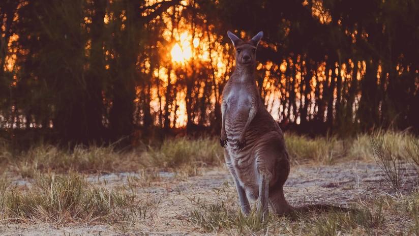 VIDEO: Reaniman a un canguro intoxicado por el humo en un incendio en Australia