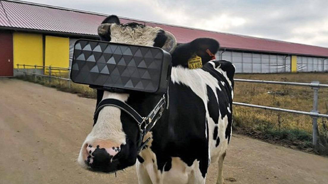 Gafas de realidad virtual para vacas rusas: ahora pastan en un campo imaginario