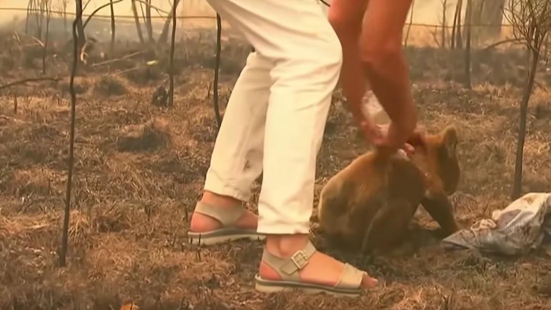 Muere el koala rescatado por una mujer en un incendio en Australia