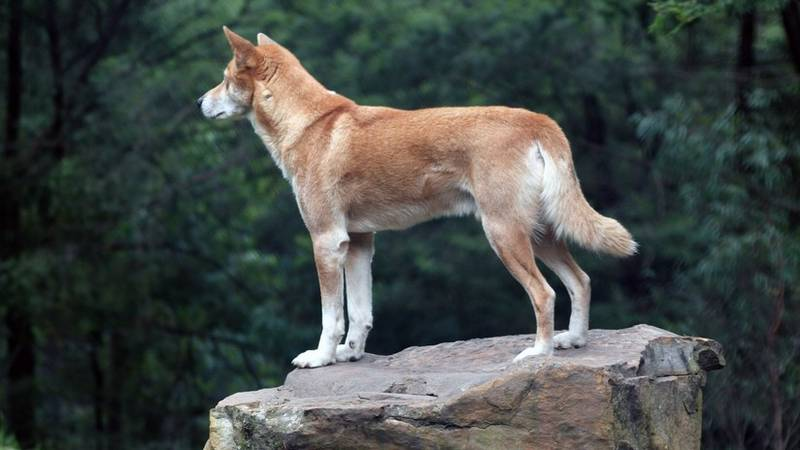 Un águila arrojó un cachorro de un animal casi extinto