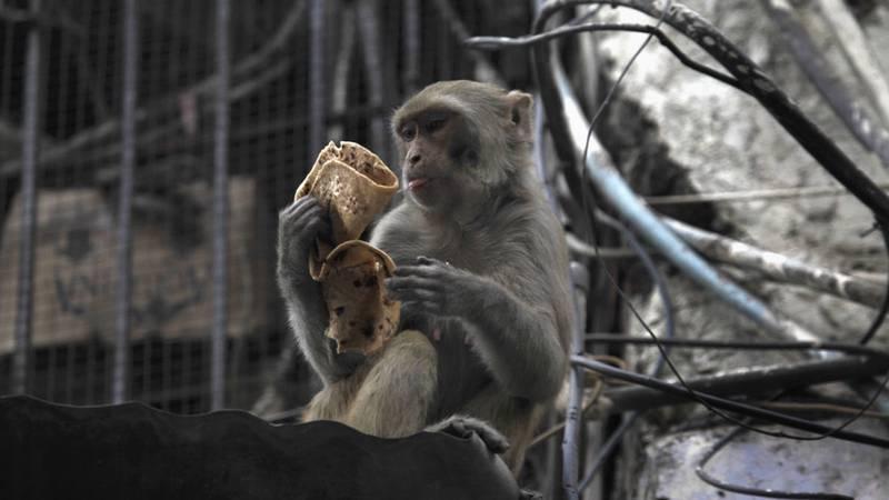 Bebé de 4 meses murió de una pedrada; se la lanzó un mono