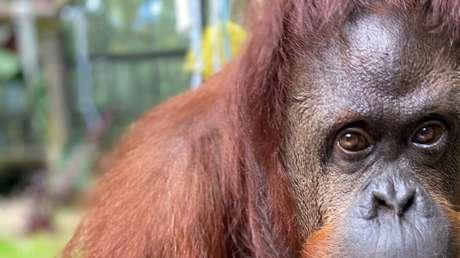 La orangután Sandra, el primer animal en adquirir una personalidad jurídica llega a un santuario de simios en Florida