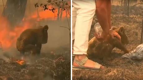 VIDEO: Una mujer arriesga su vida para rescatar a un koala de las llamas de un incendio forestal en Australia