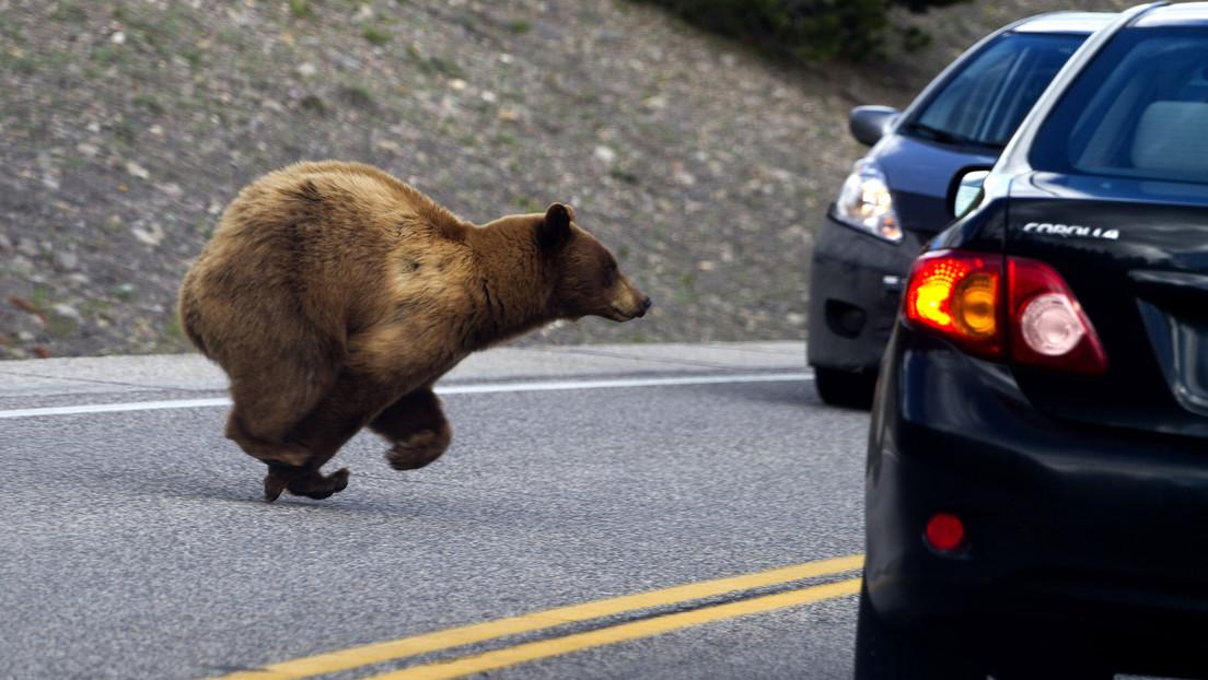 VIDEO: Un oso abre la puerta de un coche como si fuera suyo y se pone al volante