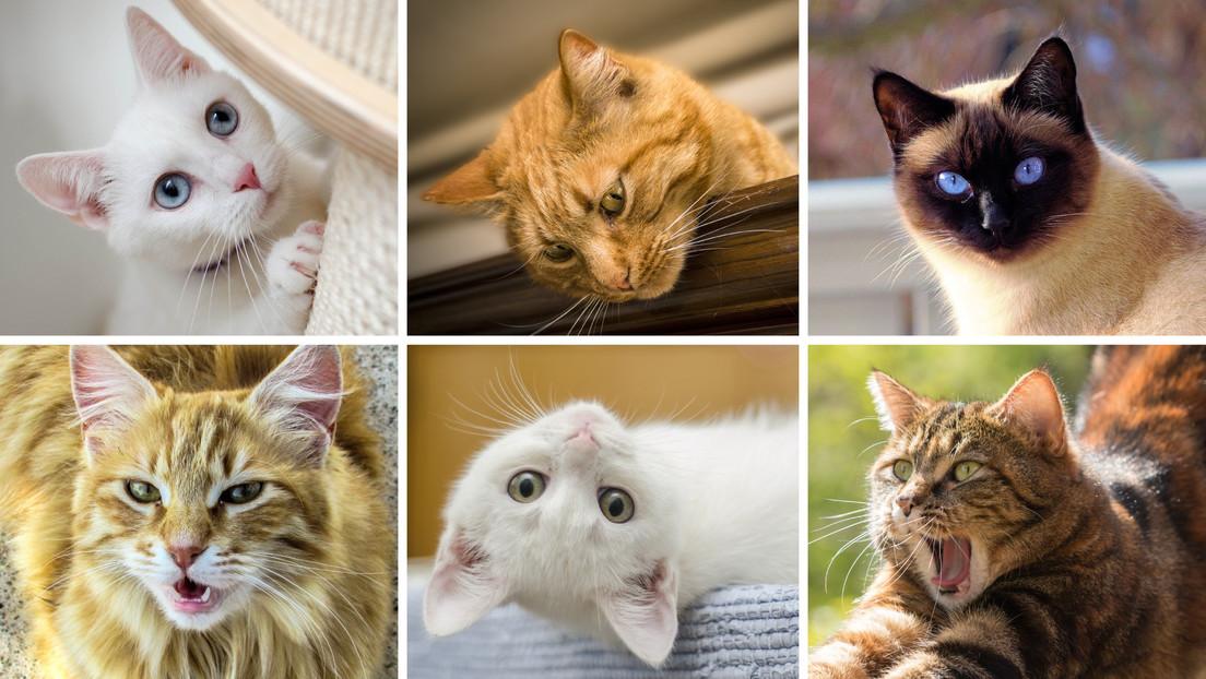 Un estudio comprueba que se pueden descifrar las expresiones faciales de los gatos, aunque no está al alcance de todos