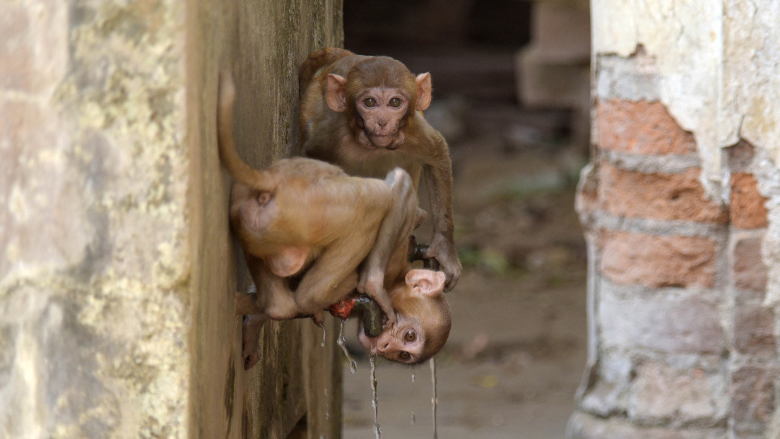 Utilizarán el reconocimiento facial en la India para identificar a los monos más peligrosos y esterilizarlos