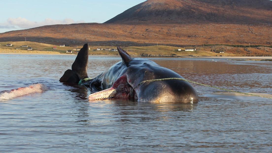 Un cachalote con 100 kilos de basura en su estómago muere varado en una playa en Escocia