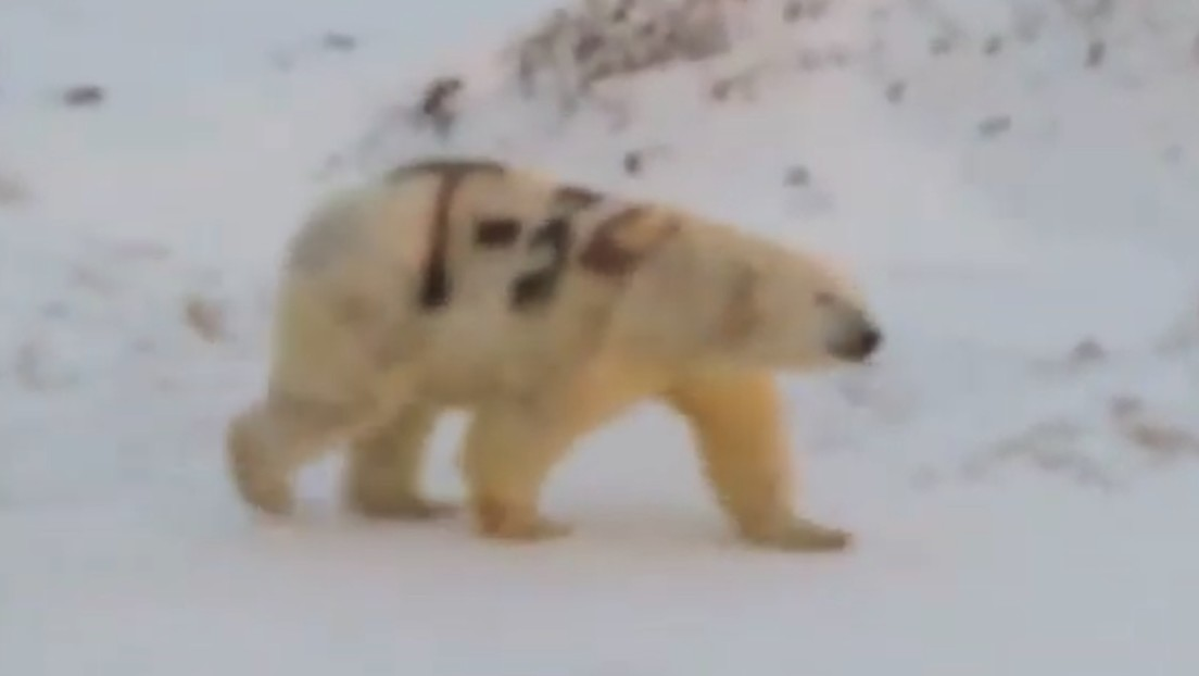 Hallan un oso polar con un mensaje pintado en su piel que podría poner en peligro su vida