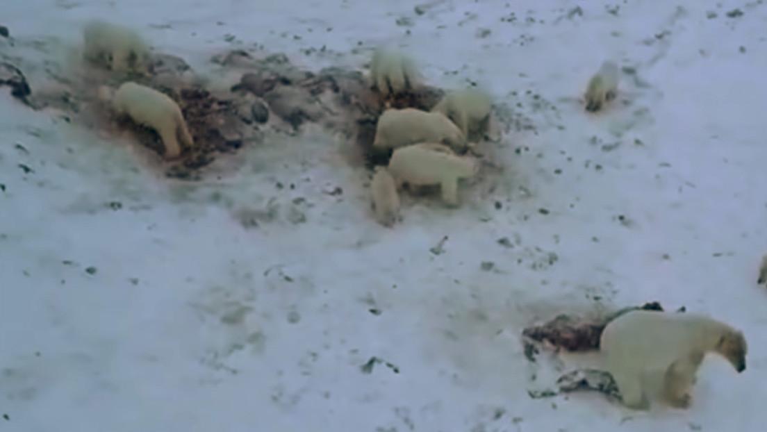 VIDEO: Más de 50 osos polares hambrientos invaden una aldea de Rusia