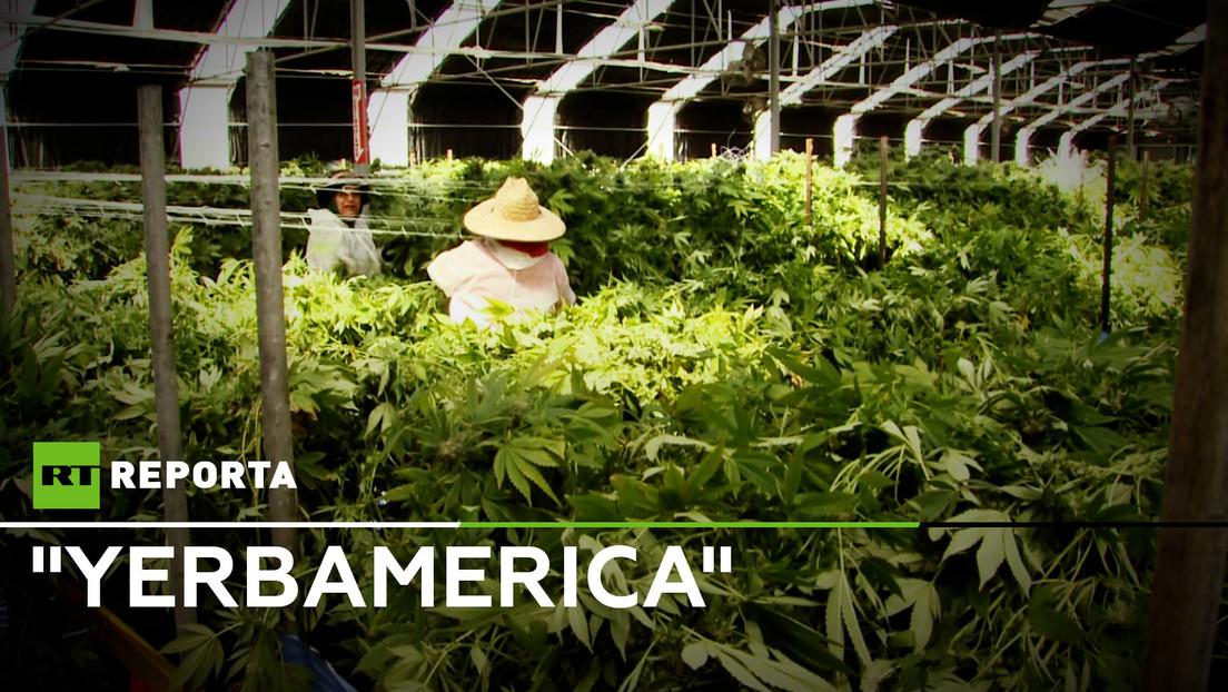 """""""Yerbamerica"""", el gran negocio de la marihuana legal en EE.UU."""