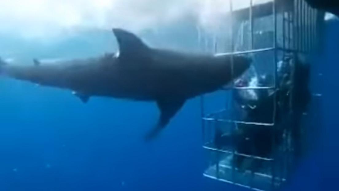 VIDEO: Un tiburón blanco muere desangrado tras quedar atorado en una jaula de turistas