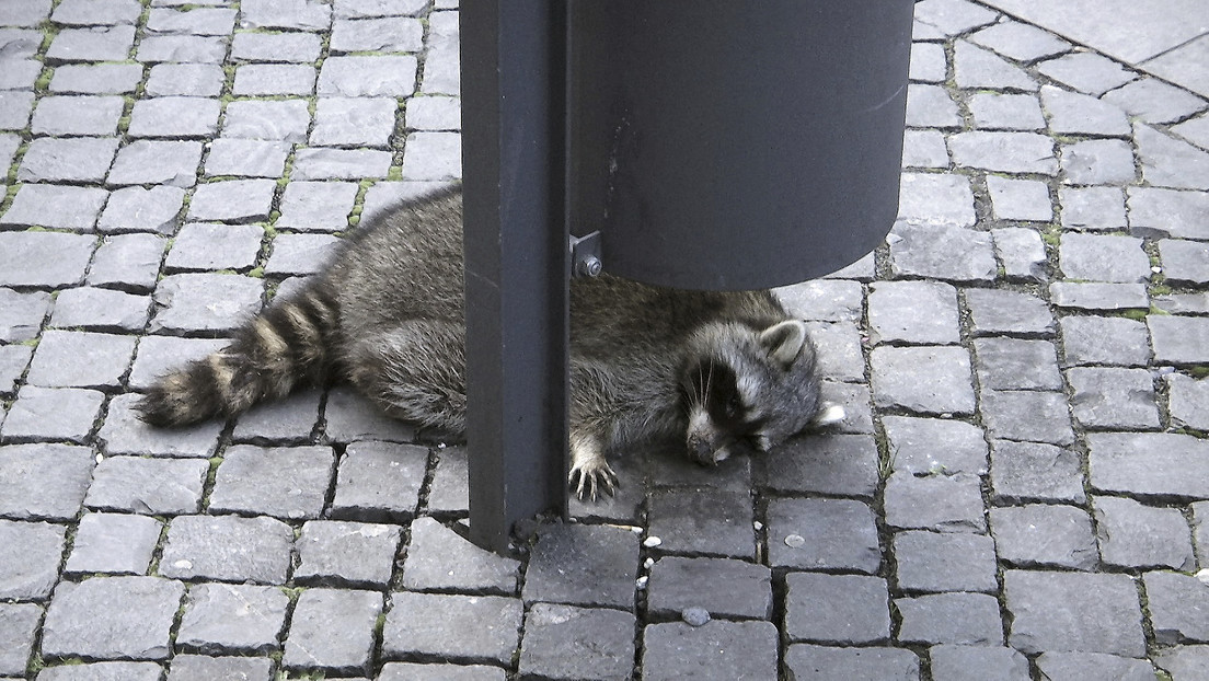 Un mapache se pasa de tragos en un mercado navideño en Alemania y muere al poco
