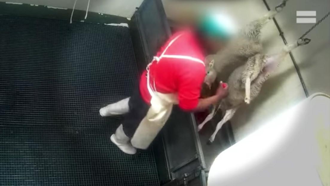 Graban con cámara oculta crueles escenas de maltrato animal en un matadero de España