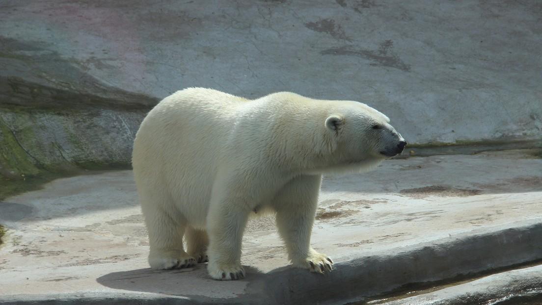 Científicos aclaran el misterio del oso polar que lleva escrito en el lomo el nombre de un icónico tanque soviético