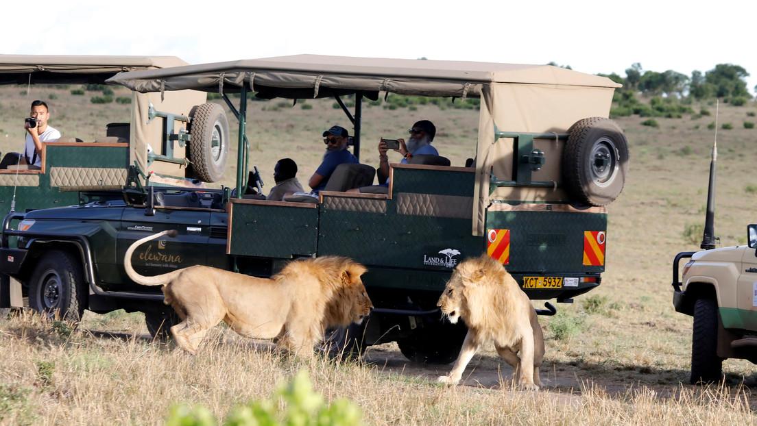 Un león escapa de un parque natural y se come a un hombre en Kenia
