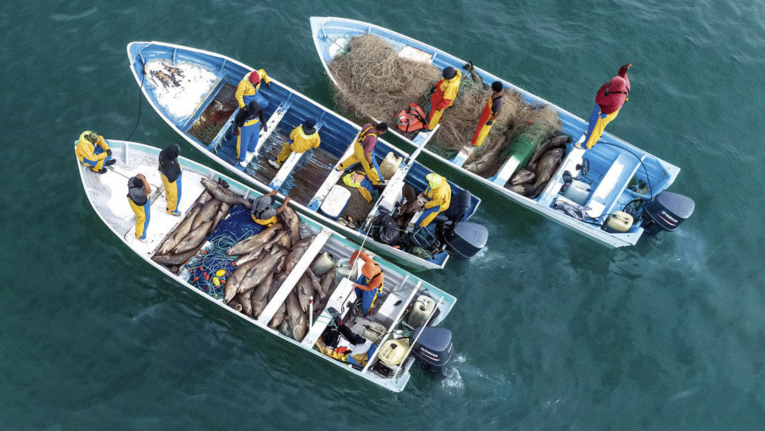 VIDEO: Denuncian la pesca masiva e ilegal en México de totoabas, una especie en peligro de extinción