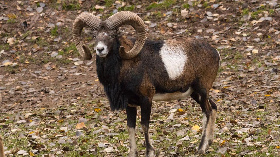 Donald Trump Jr. cazó un muflón en peligro de extinción en Mongolia