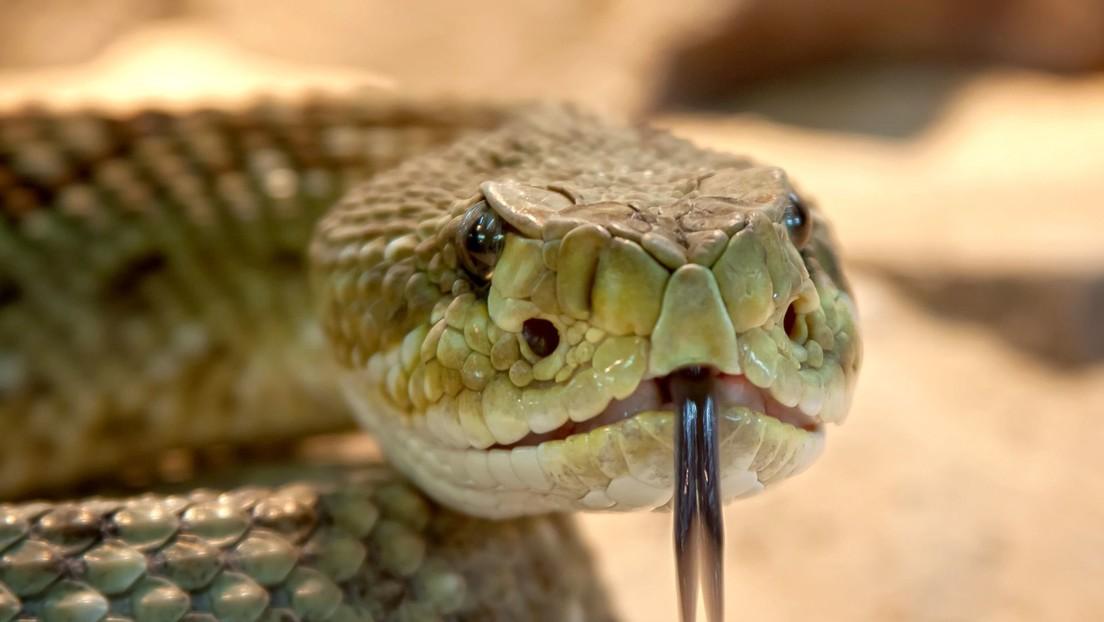 FOTOS: Cree haber encontrado una inofensiva serpiente en el baño de su casa y resulta ser una de las más venenosas del mundo