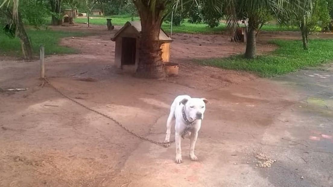 Rescatan a más de 55 perros tras desarticular una red de peleas en Brasil