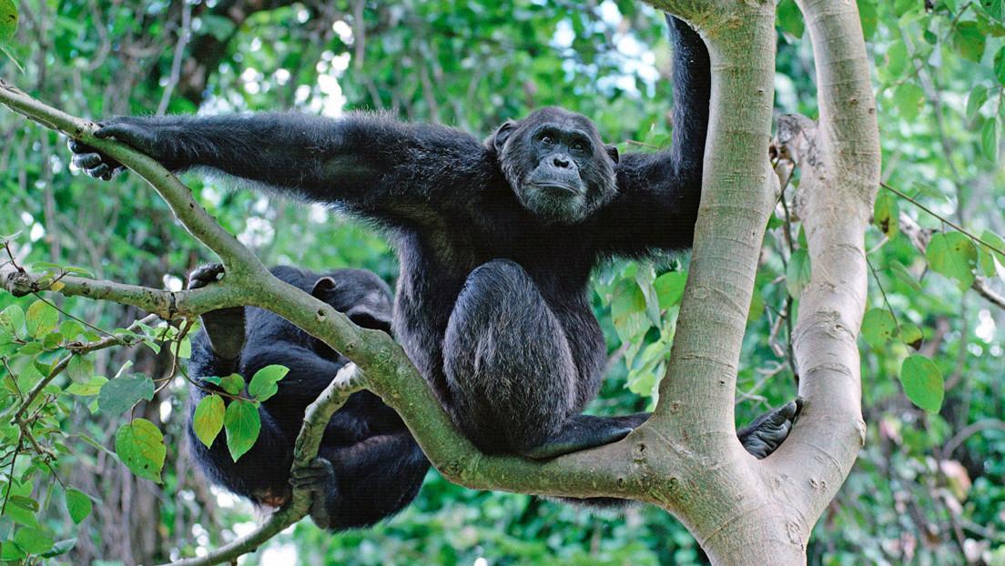 Científicos explican por qué los chimpancés lanzan piedras contra los árboles