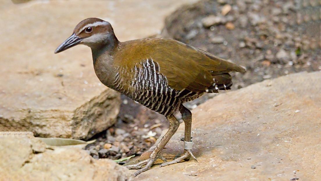 Volvió de la muerte: reaparece un ave que había sido declarada extinta hace más de 30 años