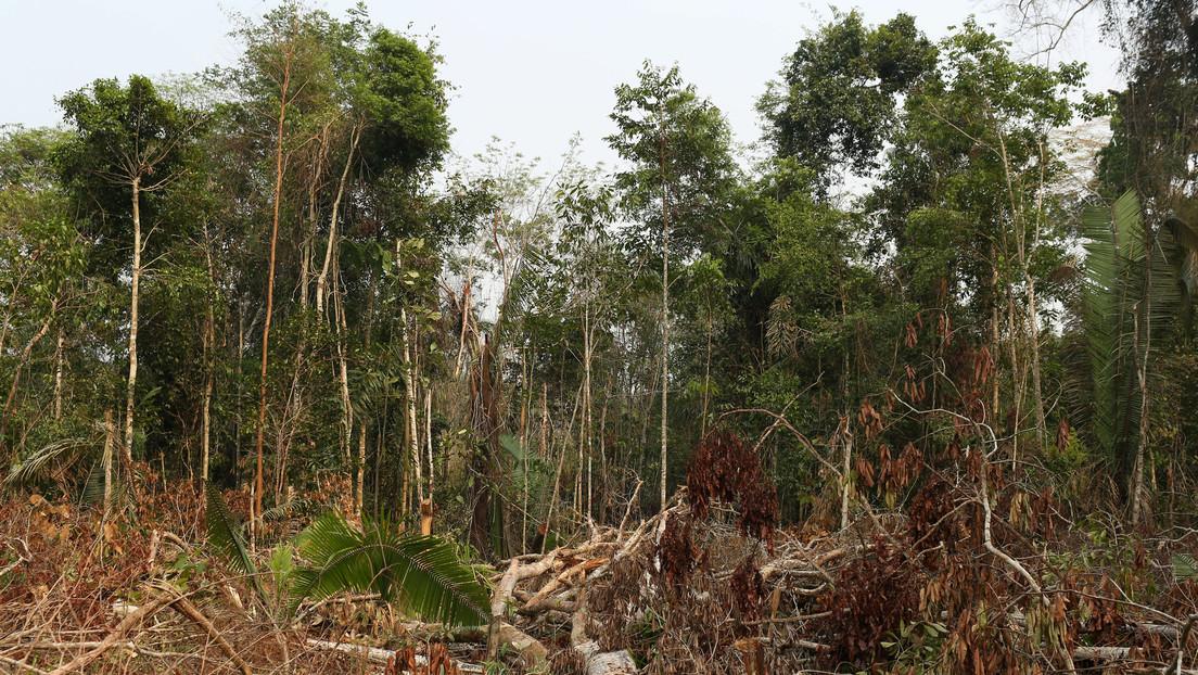 FOTOS: Hallan una nueva especie de monos en el Arco de Deforestación de Brasil pero corre riesgo de desaparecer