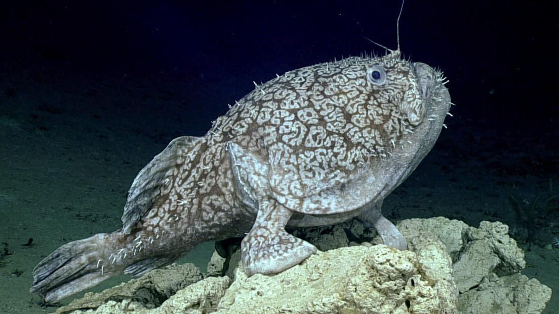 VIDEO: Filman un pez capaz de 'caminar' con sus aletas y comer presas dos veces más grandes que él