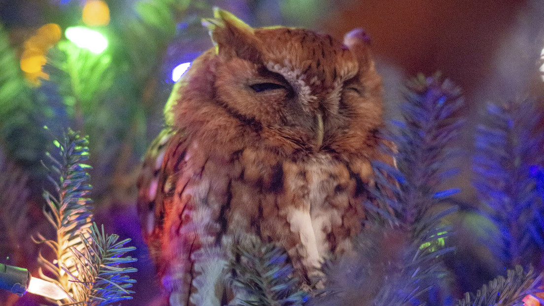 Una familia encuentra una lechuza en su árbol de Navidad una semana después de comprarlo