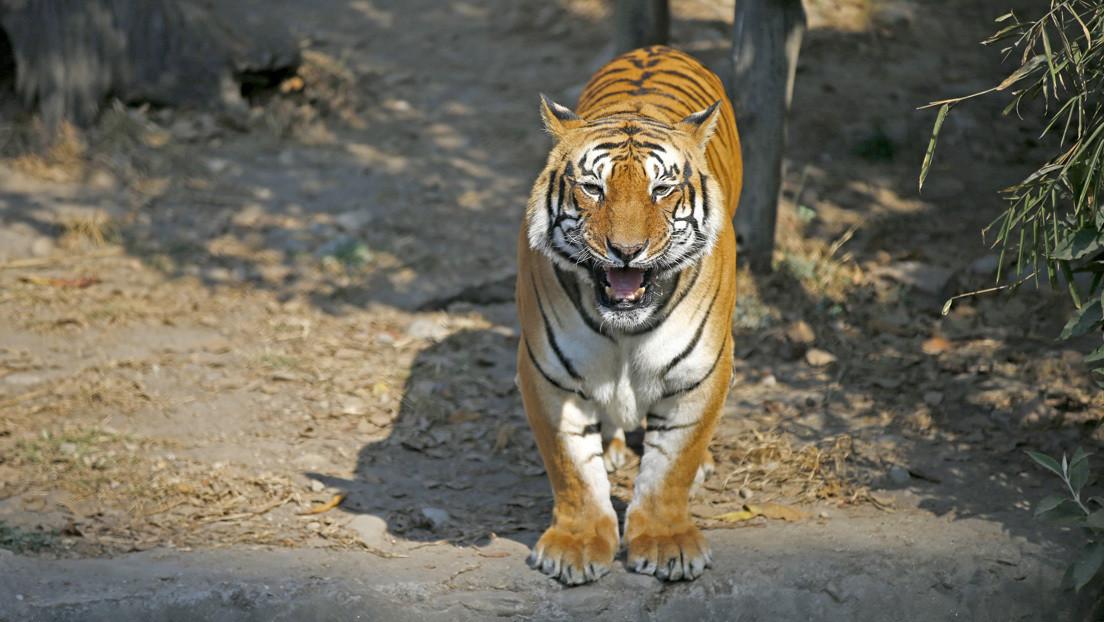 VIDEO: Rescate milagroso de un hombre atacado por un tigre en un zoológico