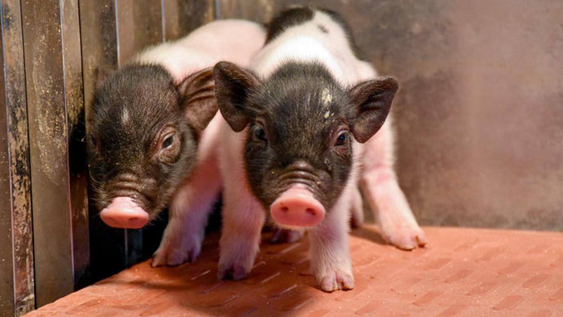 Crean los cerdos más compatibles genéticamente con los humanos
