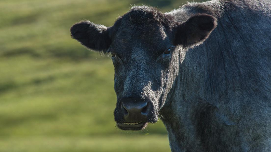 VIDEOS: Un toro robado escapa de sus captores y aterroriza a un vecindario a las afueras de Buenos Aires