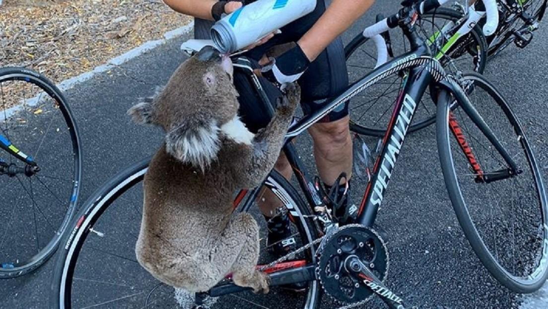 VIDEO: Un koala agotado por la sed para a una ciclista australiana en busca de ayuda