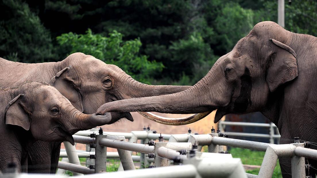 Un elefante en celo de dos toneladas de peso mata a pisotones a su cuidador a la vista del público